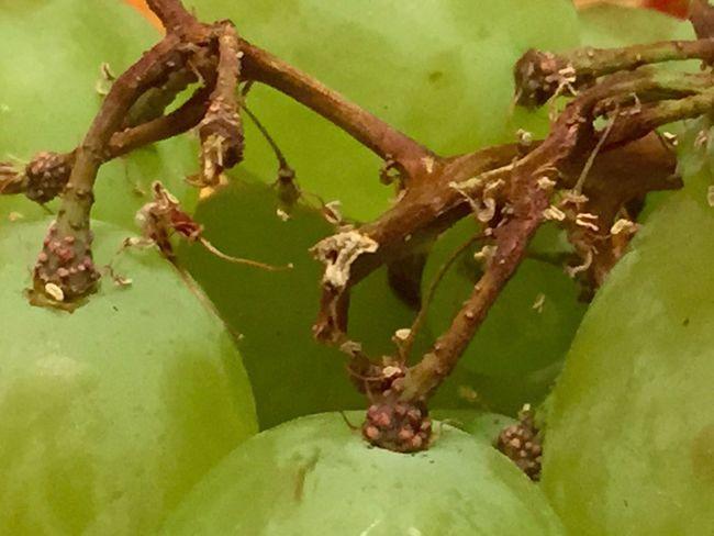 Trauben Traube Weintrauben Traubenlesen