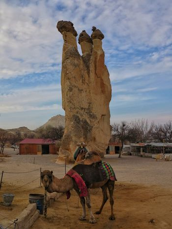 Domestic Animals Camel Open Air Museum Rock Hoodoo Lunar Landscape Göreme Rock - Object Fairy Chimneys Cappadocia/Turkey Beauty In Nature Travel Destination Volcanic Rocks Unessco World Heritage Site Mushroom Shape Rock Travel Destinations Volcanic Landscape