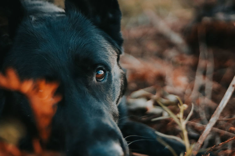 That look. German Shepherd GSD Blackgermanshepherds Black Dog Black German Shepherd Eye Dog Workingdog Workingdogs K9 Dogs In Nature Hidden Faces Pets Portrait Dog Looking At Camera Close-up Animal Nose Animal Ear Animal Mouth Animal Eye Animal Teeth Animal Face Animal Head  Animal Tongue