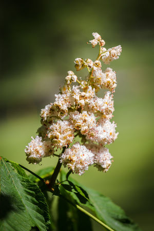 chestnut flower Tree Beauty In Nature Botany Chestnut Flowers Chestnut Tree Close-up Flower Flower Head Focus On Foreground Growth Nature No People Springtime
