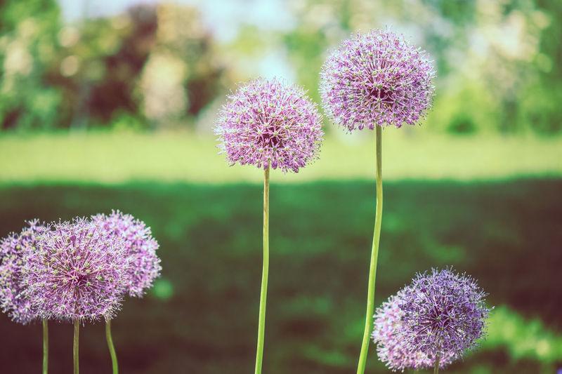 Beauty In Nature Close-up Flower Balls Flower Head Flowers Grass Nature Purple Purple Flowers Stem Stems Perennials Tall Flowers