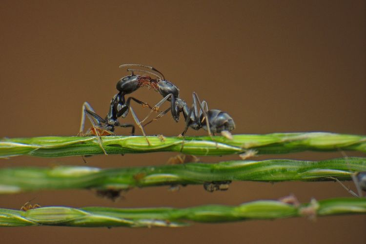 Ants Fighting On Plant Stem