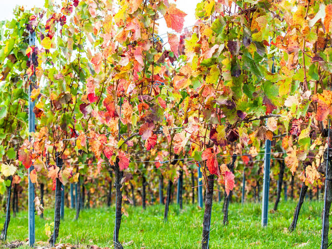 Vine leaves in autumn Vineyard Cultivation Vineyards In Autumn Vineyard Ravensburg Castle Germany Winter Nature Landscape Stromberg Autumn colors Vine Leaves Red Plant No People Pulp Growth Beauty In Nature Day Plant Part Leaf Freshness Outdoors