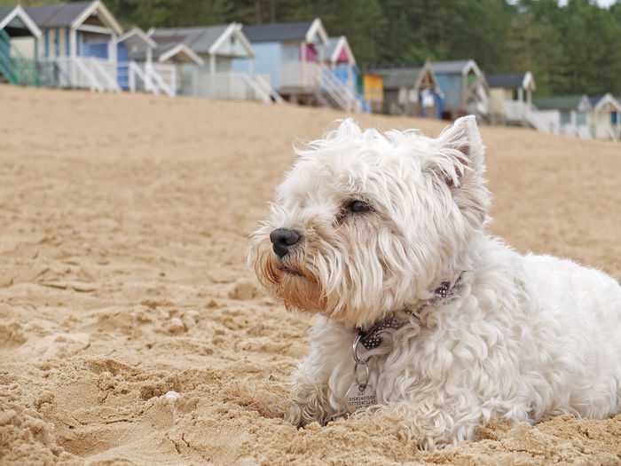 Dog West Highland White Terrier Westie Beach Wells-next-the-Sea Norfolk Uk Fujifilm X30