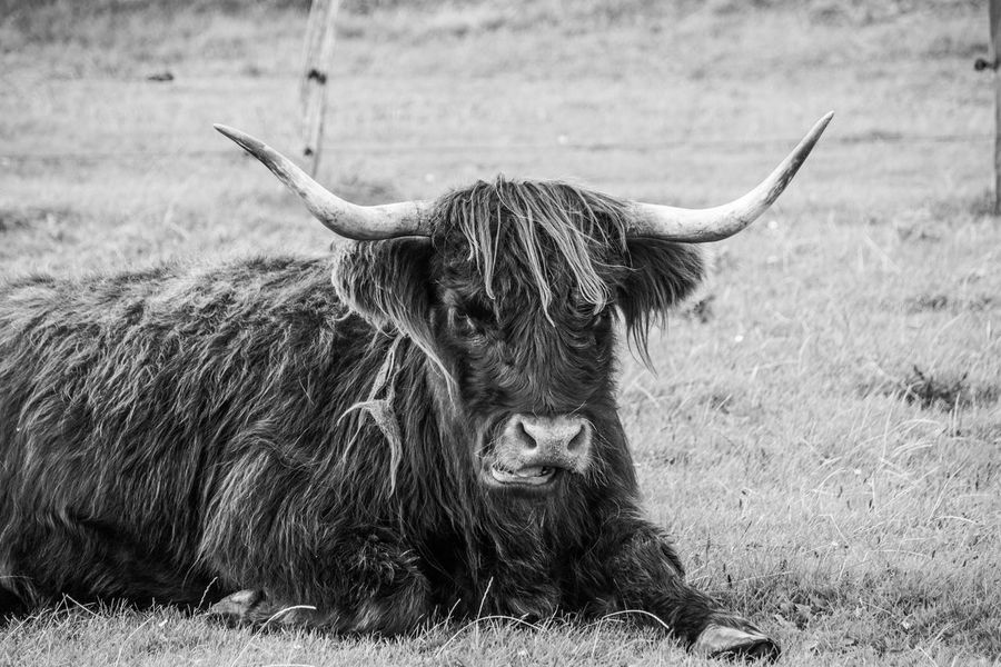 Animal Themes Beauty In Nature Black And White Blackandwhite Photography Cattle Day Field Grass Grass Grassland Grazing Highland Cattle Horned Horned Animals Livestock Mammal Mammals Nature Nature No People One Animal Outdoors Relaxing