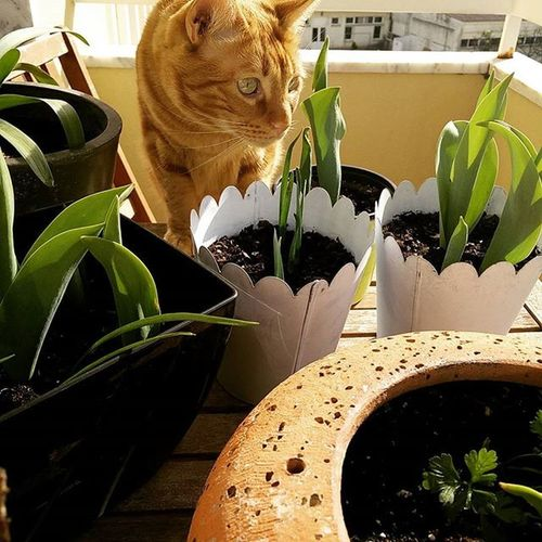 Huntingflies Jamesthecat Yellowcat Catsofinstagram Sunnydays Springiscoming Spring Waitingfor Tulips Vases