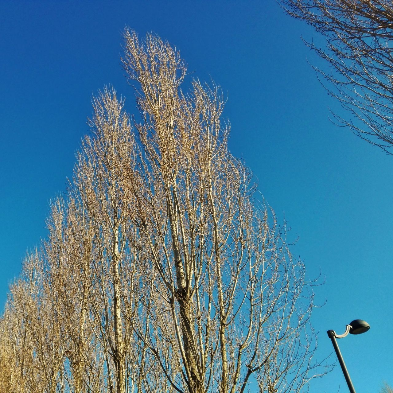 blue, clear sky, low angle view, day, bare tree, nature, no people, tree, branch, beauty in nature, outdoors, sky