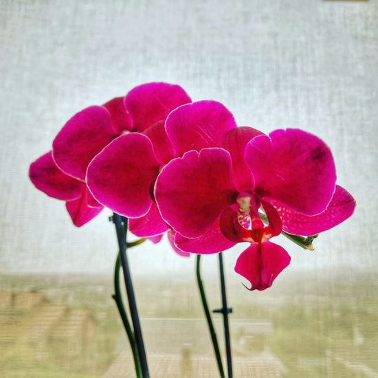 Flower Freshness Plant Flowering Plant Beauty In Nature Fragility Vulnerability