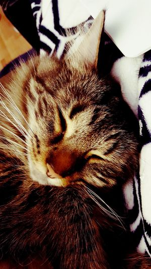 Close-up Animal Themes Indoors  Mammal Animals Pets Domestic Cat Longhaired Cats Kitten Kitty Cute Pets Cute Cats Adorable Cat  Catoftheday No People Freshness Close Up Cats Of EyeEm Cat Lovers Cute Animals Sleeping Cat Sleep Tired Indoors  One Animal