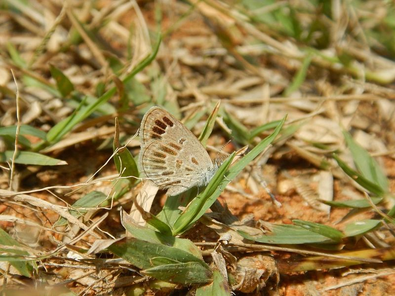 Rare morph Animal Themes Insect Grass Aberration Butterfly Lesser Grass Blue Chennai Rare Outdoors Macro Nikon Incredible India