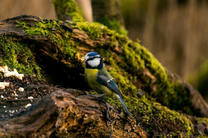 Eurasian bluetit perching on moss covered tree at forest
