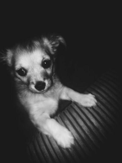 Wee Harley... Dog Pets One Animal Animal Themes Puppy Chiwawa Puppy Indoors  Domestic Animals Young Animal Looking At Camera Black Background Close-up Headshot Glasgow  Scotland Uk EyeEmNewHere EyeEm Selects
