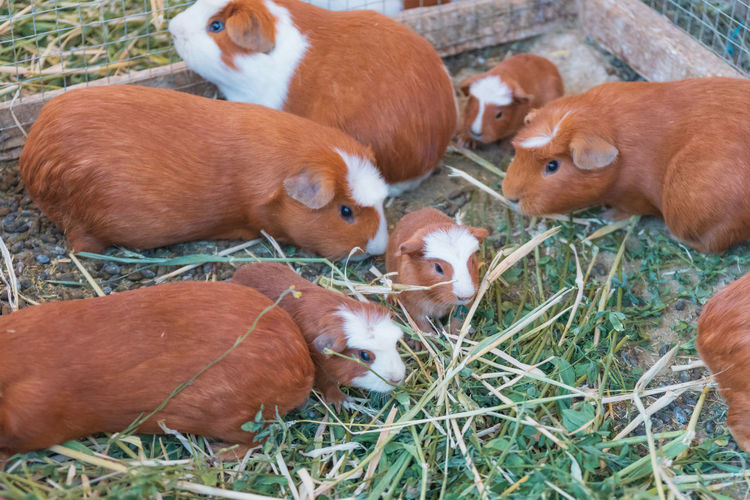 Young Guinea Pigs in Peru Group Of Animals Animal Themes Animal Mammal Domestic Animals Domestic Pets Vertebrate Grass Livestock Land Field Nature Plant No People Brown Young Animal Day Medium Group Of Animals Agriculture Herbivorous Colca Canyon Canyon Peru Guinea Pig