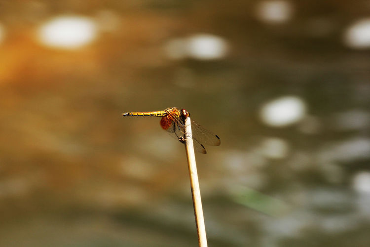Yellow Dragonfly Branch