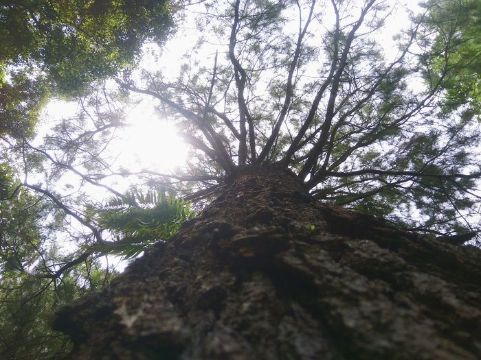 Tree Low Angle View Forest Nature Day Outdoors Branch Growth Beauty In Nature No People Tranquility Scenics Sky Pine Tree Freshness Cloud - Sky Green Color Beauty In Nature Tree Nature