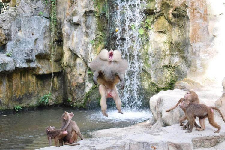 I just wanted to let you know, i GOT it. First Eyeem Photo Zoo Singapore Highjump Nature Baboon Catching Monkey