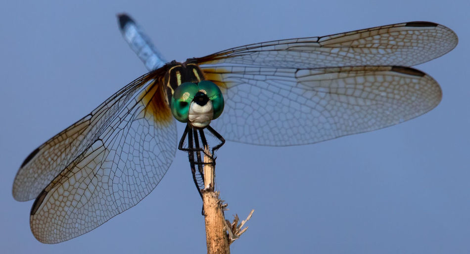 Beauty In Nature Blue Clear Sky Day Dragonfly Insect Invertebrate Nature No People Outdoors Sky