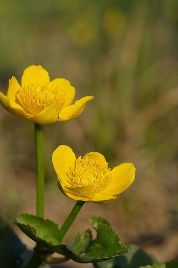 yellow