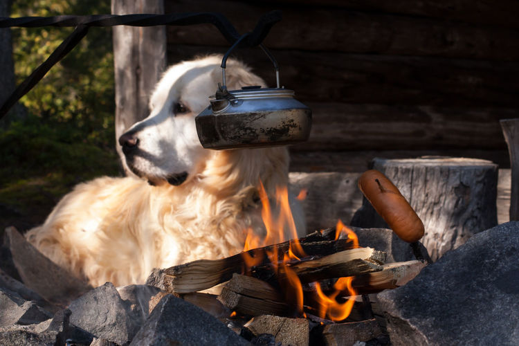 Campfire Dog Fire Focus On Foreground Lapland, Finland Leisure Time Mammal Nature Outdoors Sousage Showcase July