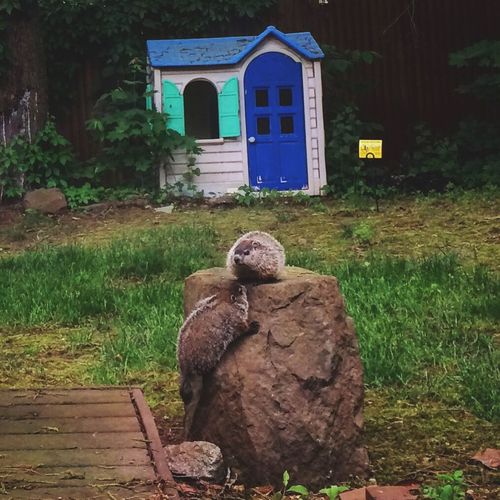 "✨2️⃣✨ Two little ""whistle pigs"" playing King of the Mountain ✨👑✨😃 Tadaa Community Woodchuck Groundhog Grass No People Day Outdoors Architecture Built Structure Tree Animal Themes Building Exterior Nature Mammal Iphone5s Rock Beauty In Nature Nature Photography"