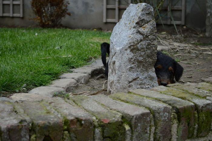 Airedale Beautiful Hidding Kiekeboe Puppy Puppy Love Stone