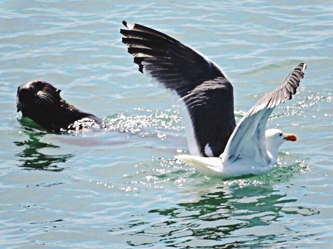 spread wings, animals in the wild, bird, animal themes, water, animal wildlife, one animal, no people, flapping, waterfront, day, nature, swimming, lake, outdoors, close-up