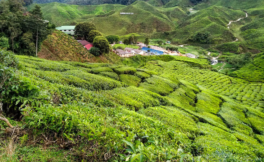 Agriculture Beauty In Nature Crop  Environment Farm Field Foliage Green Color Growth Land Landscape Lush Foliage No People Outdoors Plant Plantation Rural Scene Scenics - Nature Tea Crop Tranquil Scene Tranquility Tree