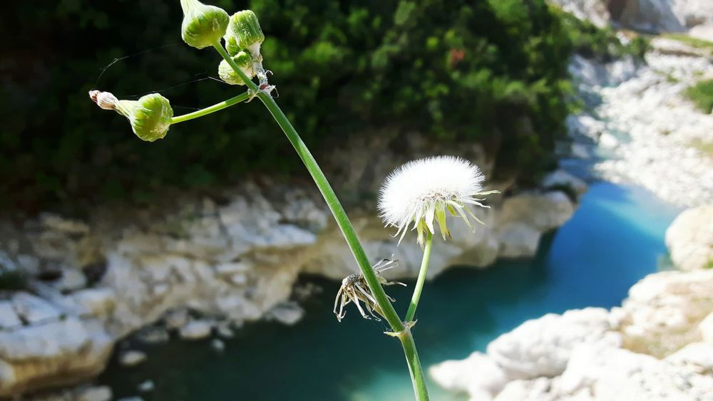 Nature Flower Plant Outdoors Day Fragility No People Beauty In Nature Close-up Freshness ALBANIA❤️ Tujan Focus On Foreground River Blue Color Green Color White Color Sowthistle Sonchus