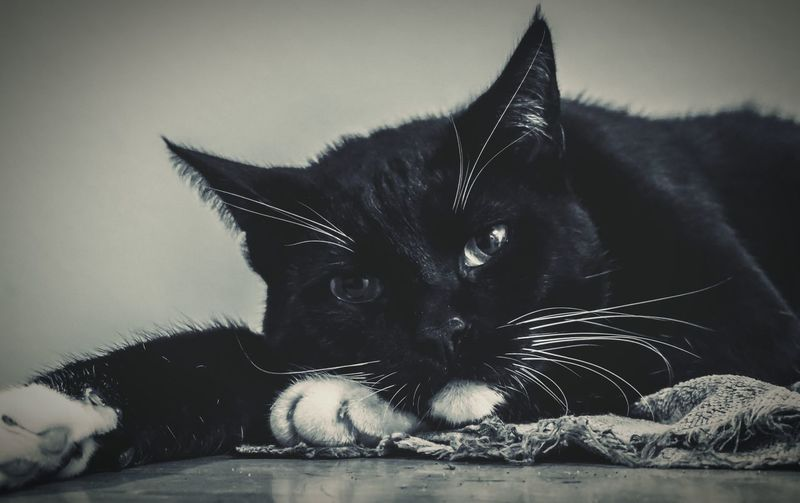 Cats Pets Sony A6000 Black And White Pet Photography  Cat Black & White