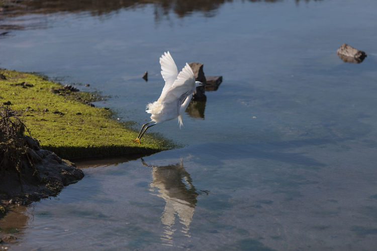 Snowy Egret Flying Over Lake