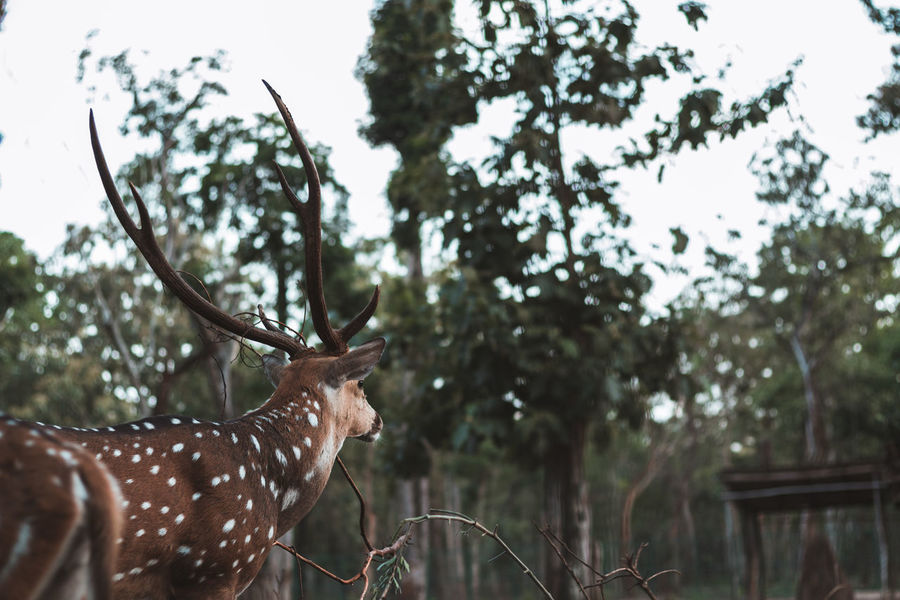 Travel Landscape Earth Karnataka Travel Destinations Lush Nature Alive  Wild Raw Coorg Trees Bokeh Green Perspective Beauty In Nature Travel Photography Travelling Selective Focus Tree Sky Close-up Deer Fawn Herbivorous Grazing Stag Horned The Traveler - 2018 EyeEm Awards