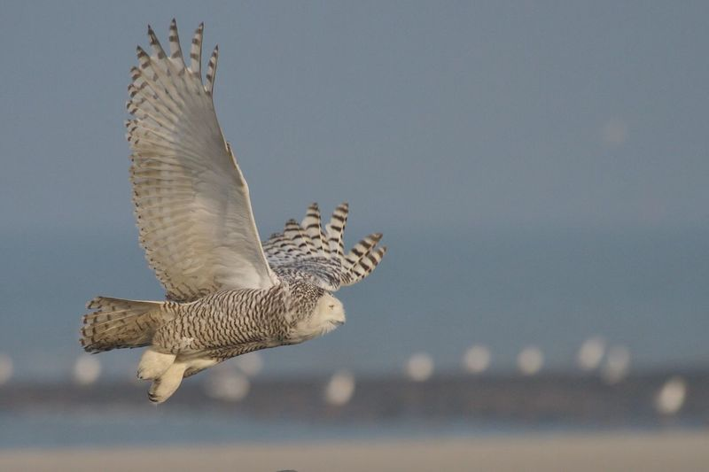 Sneeuwuil Snowy Owl Vlieland