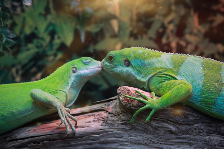 Portrait of two kissing geckos