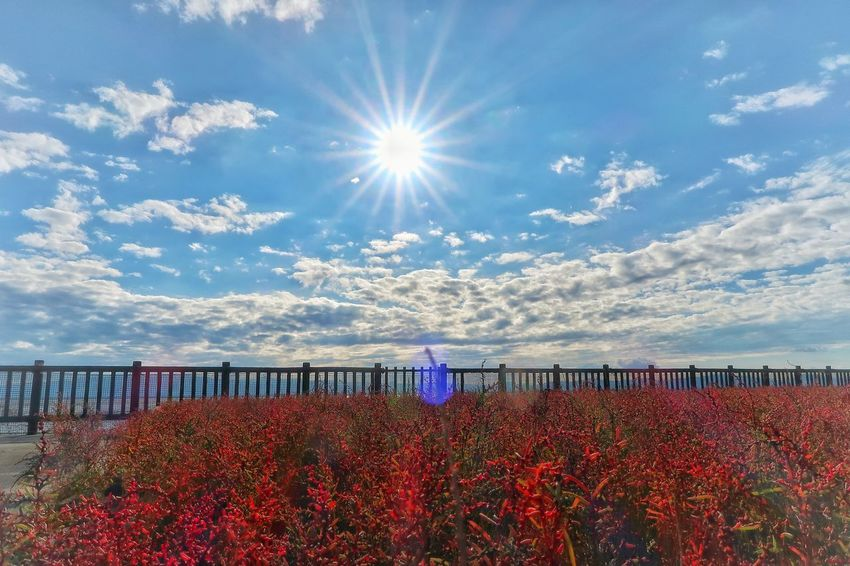 海 有明海 干潟 シチメンソウ 太陽 空 ソラ Sky Nature Sunlight Backgrounds Flower Day Beauty In Nature Outdoors Abundance Large Group Of Objects Autumn Nature Scenics Cloud - Sky Multi Colored Tranquility Water No People
