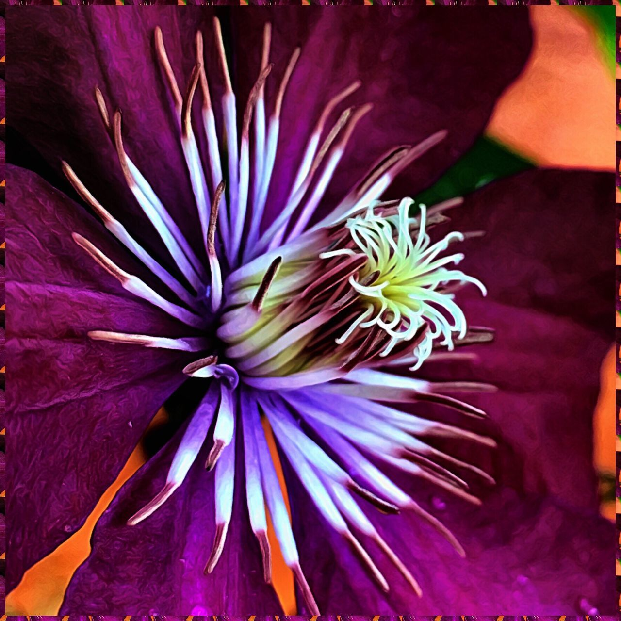 flower, petal, flower head, beauty in nature, fragility, freshness, nature, growth, purple, no people, blooming, plant, close-up, outdoors, day, passion flower