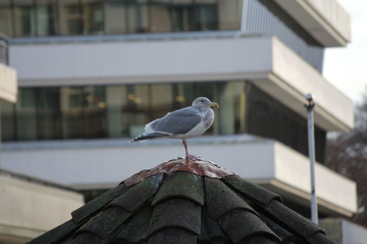 Vertebrate Bird Animal Themes Animal Perching Building Exterior Built Structure Animals In The Wild Architecture Animal Wildlife One Animal Focus On Foreground Day No People Roof Building Nature Outdoors House Roof Tile Seagull