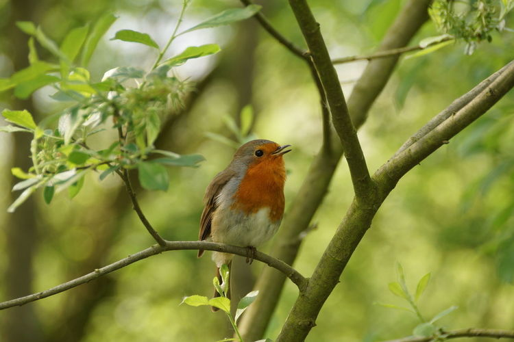Alone Countryside Green Leaves No People On Branch Red Breasted Robin Robin Redbreast Singing My Heart Out Tree Very Cute