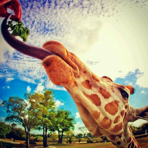 Feeding A Giraffe  Blue Sky Eye Em Best Shots Eye Em Nature Lover