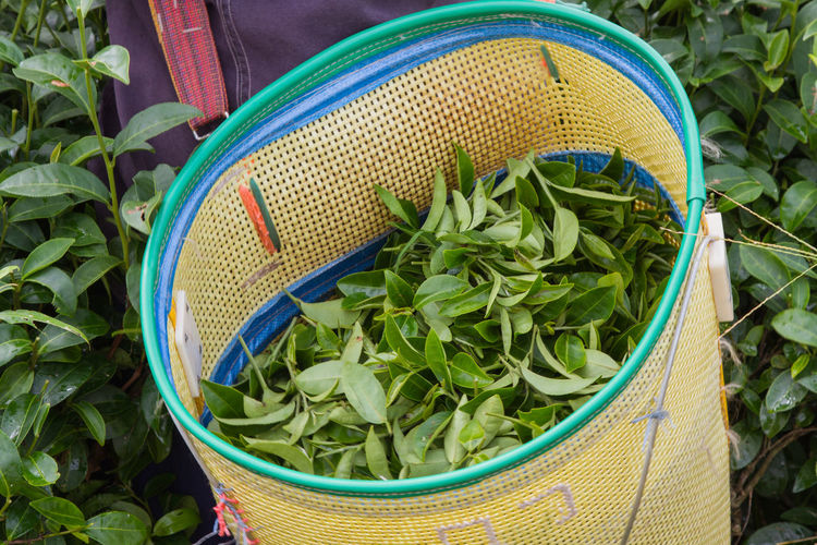 High Angle View Of Green Tea Leaves In Basket At Farm