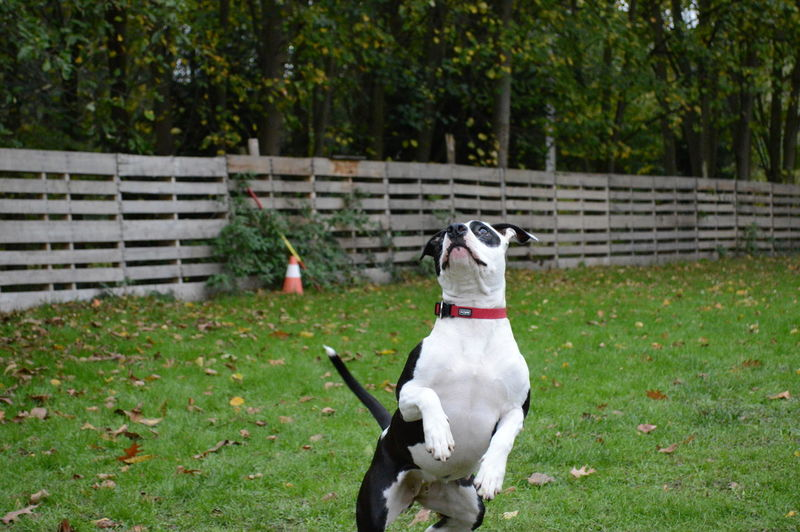 american stafford black and white jumps Jump American Stafford Black And White Beautifull