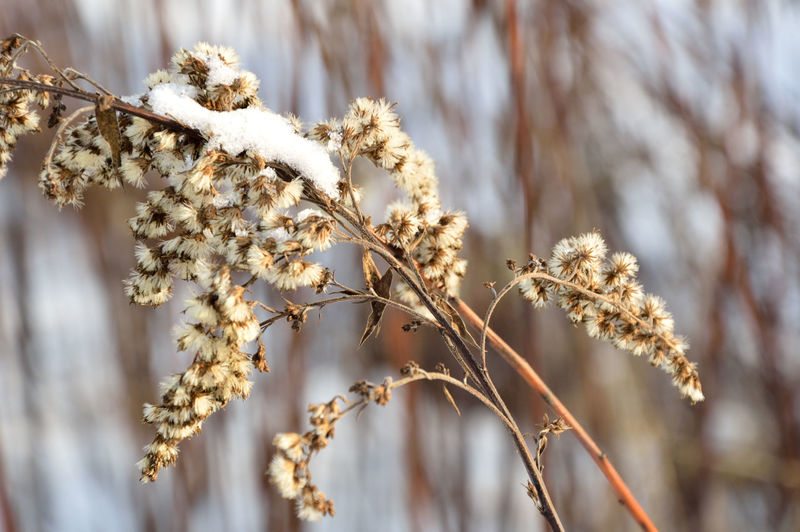 Close-up of pussy willow against blurred background
