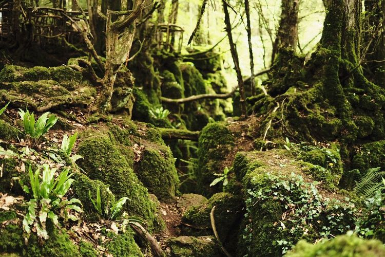 Nature Growth Forest Beauty In Nature Tree No People Green Color Outdoors Tranquility Moss Day Tree Trunk Tranquil Scene Plant Scenics Freshness Close-up Puzzlewood