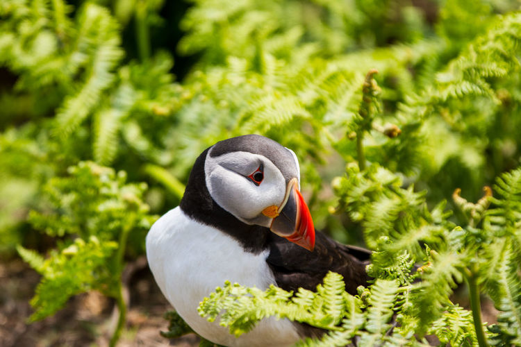 Puffins on Skomer Island of the coast of Pembrokeshire Wales UK 2019 Birds Pembrokeshire Puffin Puffins Skomer Island Uk Wildlife Animal Themes Animals In The Wild Animal Animal Wildlife Bird One Animal Vertebrate Plant No People Nature Green Color Focus On Foreground Day Close-up Selective Focus Beauty In Nature Beak Growth Land Outdoors Animal Neck SKOMER