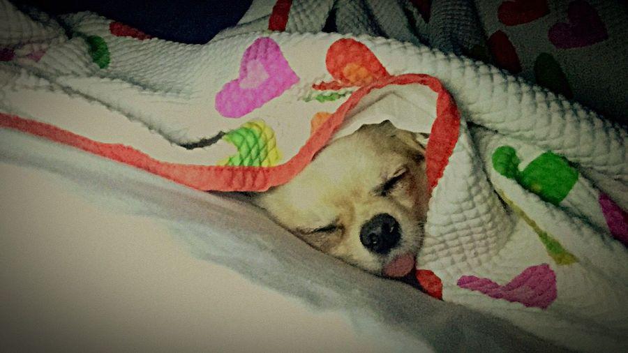 Pets Dog Sleeping Chihuahua Frida Inthebed