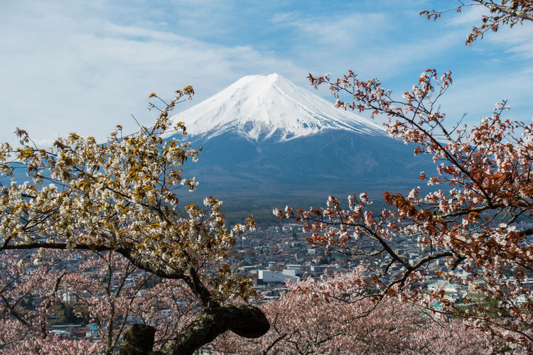 Japan Sakura Beauty In Nature Cherry Blossom Cloud - Sky Cold Temperature Day Environment Growth Landscape Mountain Mountain Peak Nature No People Outdoors Plant Sakura Blossom Scenics - Nature Sky Snow Snowcapped Mountain Spring Tranquil Scene Tree Volcano Winter