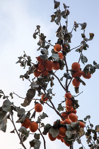Nongae birth place, Jangsugun, Jeonlabukdo, South Korea Autumn Close-up Day Fall Fall Beauty Folk Village Food Food And Drink Freshness Fruit Fruits Growth Low Angle View Nature No People Orange Tree Outdoors Persimmon Sky Tree