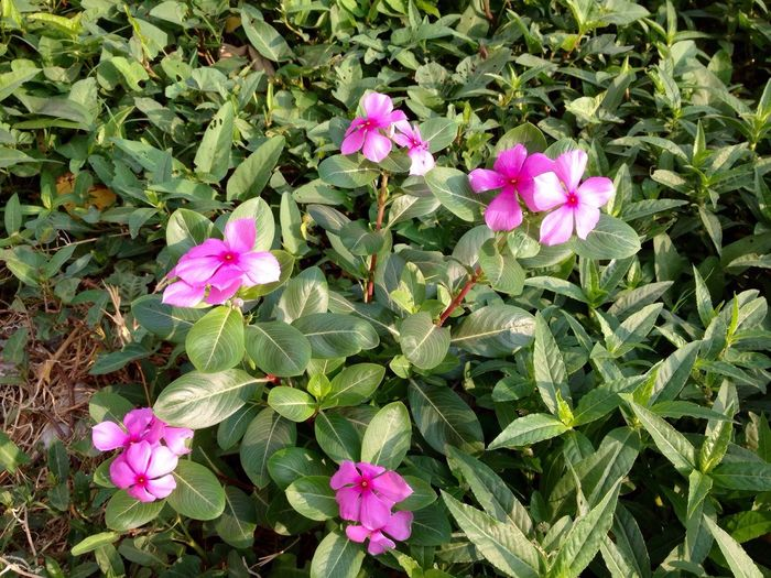 Tapak Dara Bunga Tapak Dara Flower Freshness Nature Petal Growth Beauty In Nature Pink Color Fragility Blooming Plant Leaf Flower Head High Angle View Green Color Periwinkle No People Outdoors Close-up Day