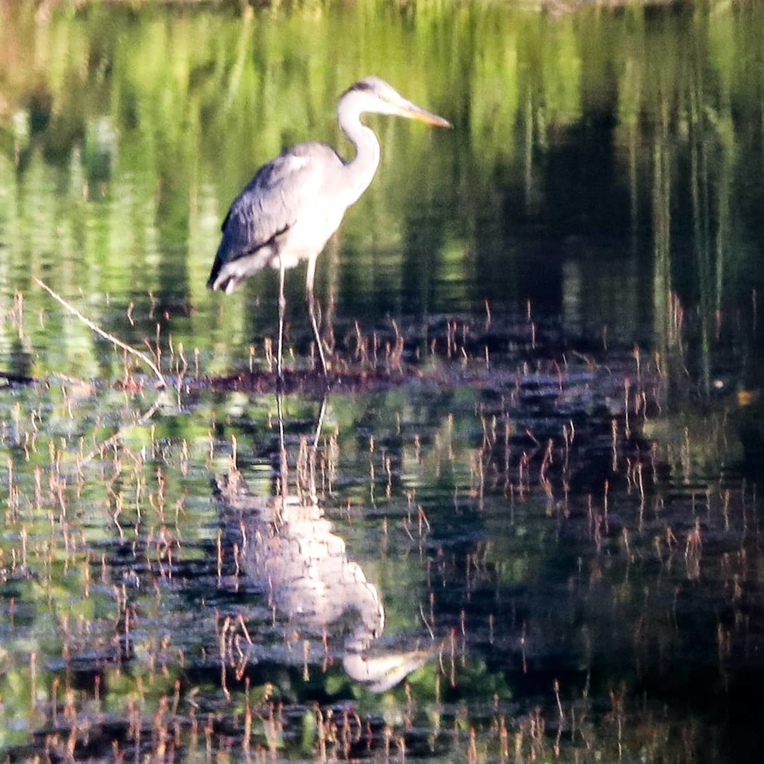 animal themes, animal, animal wildlife, animals in the wild, bird, water, one animal, reflection, vertebrate, lake, heron, day, nature, no people, water bird, selective focus, outdoors, wading, perching, stork, swamp, profile view