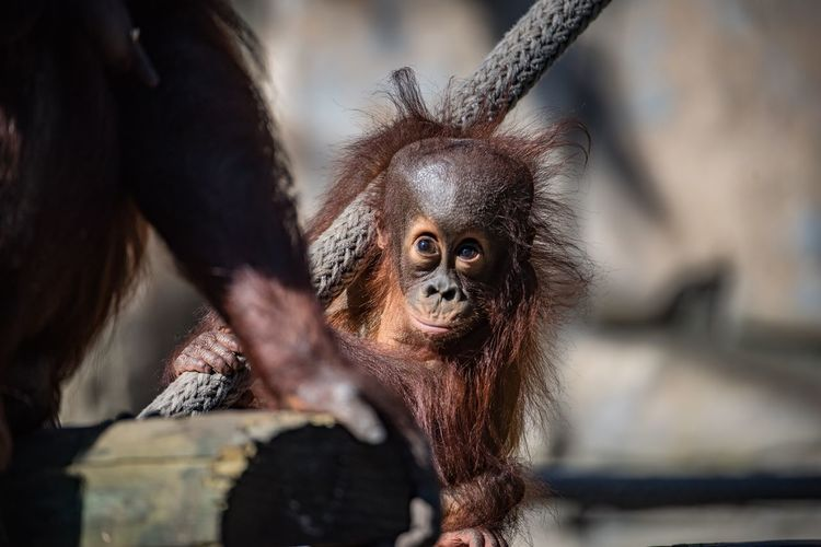 EyeEm Selects Monkey Primate Animal Wildlife Mammal Animals In The Wild Animal Themes One Animal Orangutan Day Outdoors Ape Close-up No People Nature