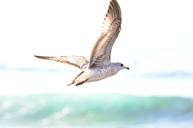 Flying Animal Wildlife Animals In The Wild Spread Wings Animal Animal Themes Mid-air Bird No People Focus On Foreground Seagull Sea Outdoors Nature One Animal Motion